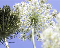 Queen Anne's Lace against the sky (daucus sp.)